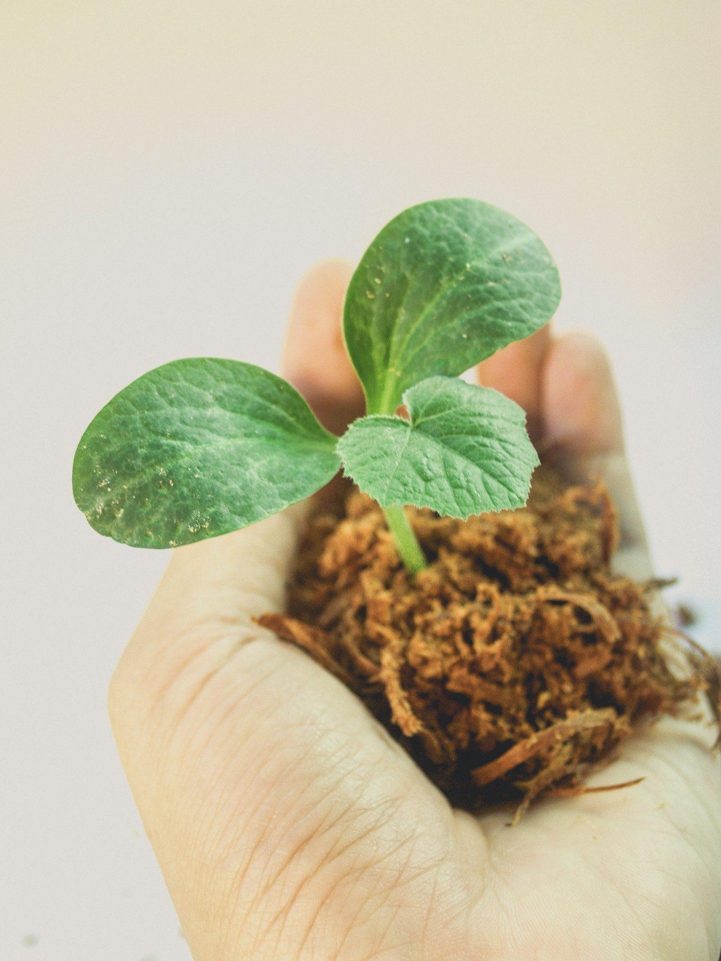 Wachsende Pflanze